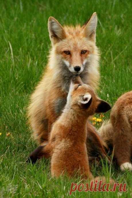 ღЛиса семерых волков проведёт. _____________ Пословица.