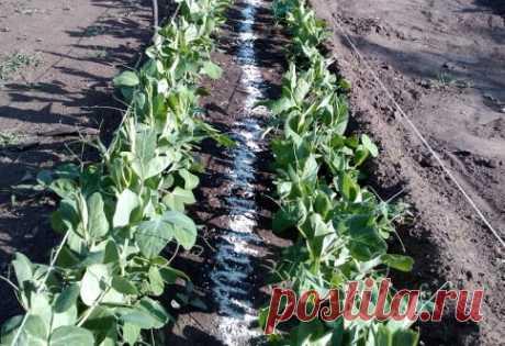 Выращивание гороха на даче – как и когда сажать горох?