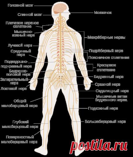 Нервная система человека — Википедия