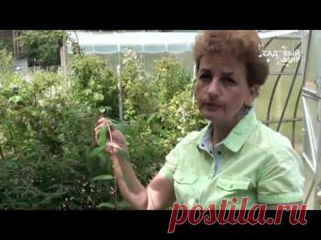 "How to multiply a honeysuckle. Website ""Садовый мир"""