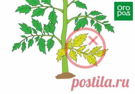 Что делать с листьями томата – обрезать или оставить на кусте? | Личный опыт (Огород.ru)