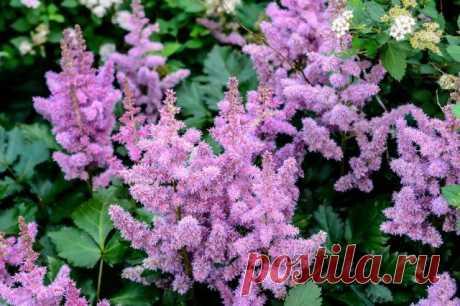 Какие многолетние цветы сажают и пересаживают осенью | Прочие многолетники (Огород.ru)