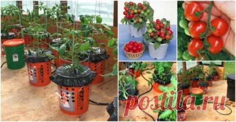 Как вырастить помидоры в ведре корнями вверх?! Сейчас вы сможете выращивать любимые томаты даже если у вас совсем маленький участок! Все огородники и опытные садоводы знают, что томаты нуждаются в обильном поливе. Если вы хотите облегчить свой труд и не тратить долгие часы на полив помидор, подумайте о том, что можно посадить их в ведре, корнями вверх. Читайте и вы узнаете >> Как вырастить помидоры в ведре корнями вверх