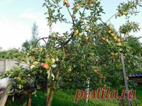 Уход за яблоней осенью – советы по правильной подготовке дерева к зиме Осенний уход за яблонями надо начинать сразу после уборки урожая. Если вы все сделаете правильно, деревья хорошо перезимуют и в следующем году порадуют обильным урожаем. Основной уход за этой плодовой...