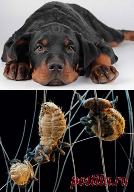 Как лечить собаку от власоедов, признаки заражения паразитами