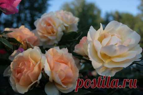 Октябрьские заботы любителей роз Снова осень, и любители роз опять в печали. Объём предстоящих работ вызывает депрессию. Наш отечественный розовод Э. Иммер ещё в 1906 году писал: «Хорошо любителю роз, живущему на юге, под вечно улыбающимся небом, где зиму не встречают как неприятного и нередко разрушительного гостя. Но...
