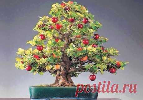 Бонсай яблоня в домашних условиях - строительство, ремонт, дизайн, интерьер
