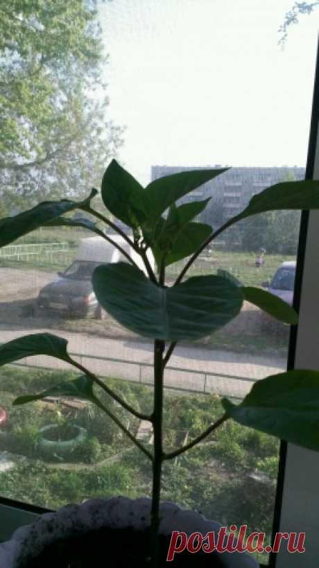 мой первый опыт огорода на балконе 21.05.16 - Садоводка