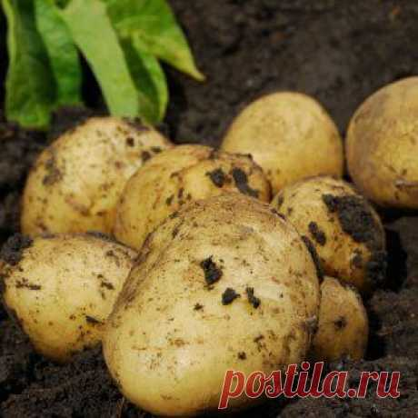 Усадьба | Огородник : Сверхранний картофель