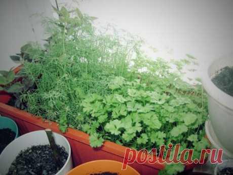 Мой фирменный подход к выращиванию укропа и петрушки. Целый год свежая зелень | Блог Палыча | Яндекс Дзен