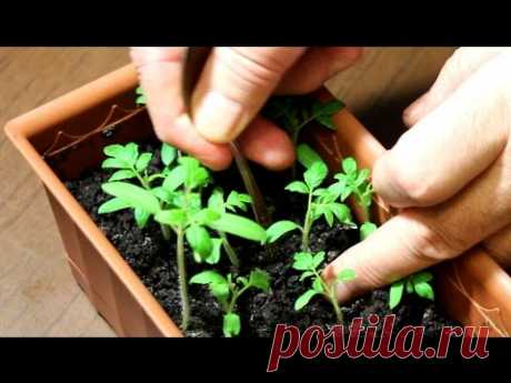 Рассада томатов: от всходов до пикировки - YouTube