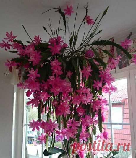 Забытый цветок из СССР, не требующий ухода - это просто украшение любой квартиры!