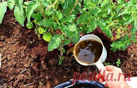 Самодельная подкормка, которая поможет добиться полноценной завязи плодов . Милая Я