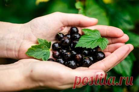 Сода для высокого урожая смородины   Азбука огородника   Яндекс Дзен