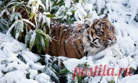 тигр зима фото обои на телефон: 11 тыс изображений найдено в Яндекс.Картинках