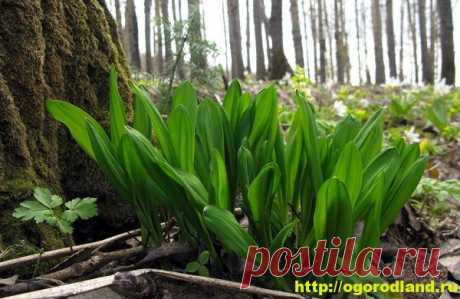 Ramson. Features of cultivation from seeds.