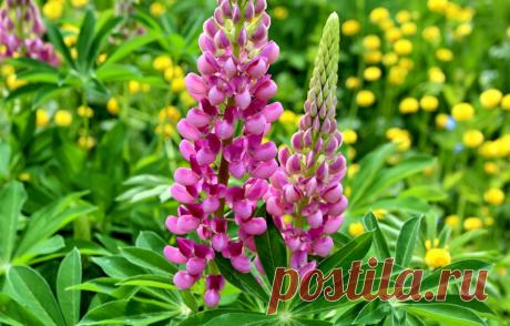 4 самых неприхотливых многолетних цветка для клумбы   25 соток счастья!   Яндекс Дзен