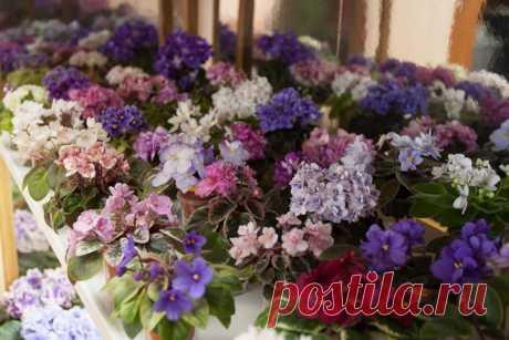 Комнатные фиалки: фото и названия цветов, уход в домашних условиях