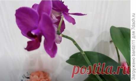 Как поливать орхидеи, чтобы они постоянно цвели. Видео