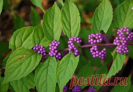 Американский Beautyberry (Callicarpa Американа)  Многие вечнозеленые растения и выносливые декоративные травы могут быть совершенно потрясающими  в холодные месяцы.
