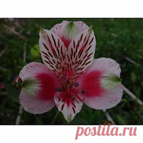 Circus - Альстрёмерия - Цветы тропические