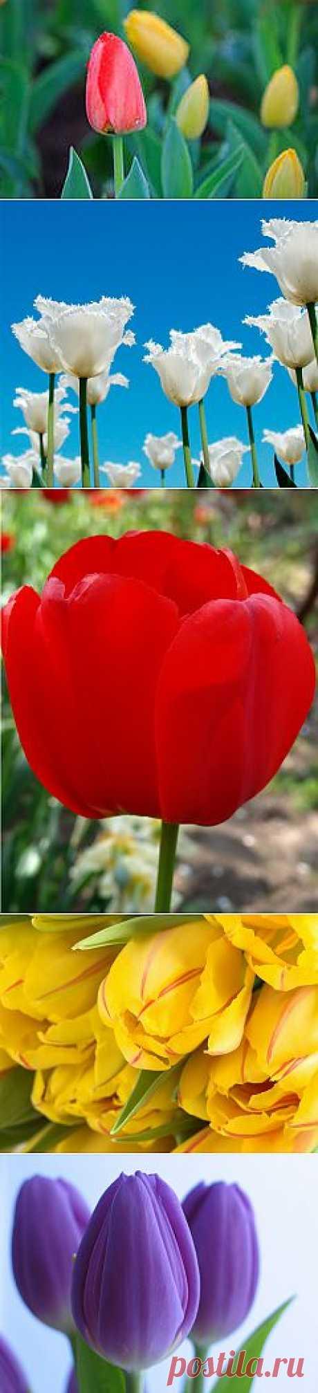 фото цветытюльпаны: