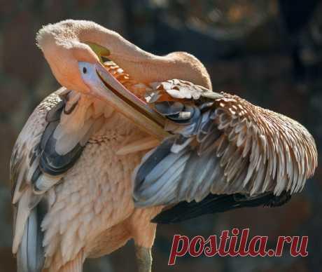 Розовый пеликан напоминает о необходимости следить за чистотой в перьях! Автор фото – Олег Богданов: nat-geo.ru/community/user/163720