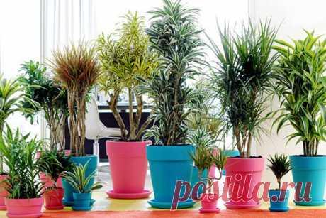 Как правильно обрезать драцену, чтобы получить красивое растение - Цветочки - медиаплатформа МирТесен