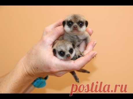 New Meerkat pups at Taronga! - YouTube