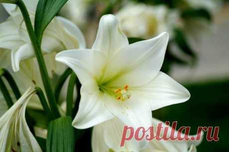 Белые лилии. Посадка и уход — Садоводка