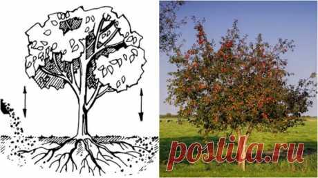 Чем подкормить яблоню, чтобы собрать крупные, ароматные и вкусные плоды