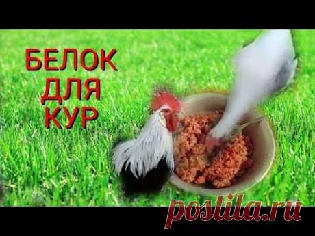Белок для кур  повышает яйценоскость.