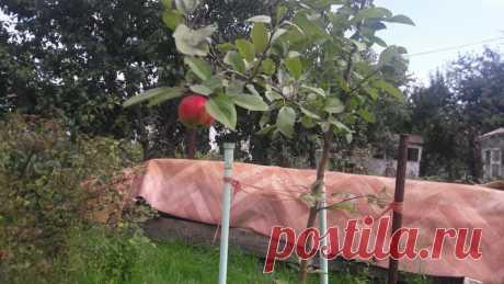 Как сделать так, чтобы молодые деревья яблонь и груш быстрее начали плодоносить   Летний досуг   Яндекс Дзен