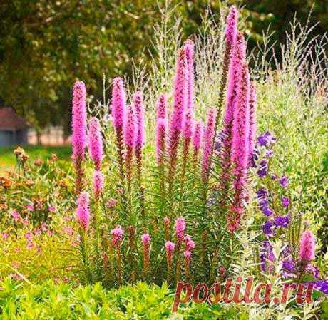 Многолетний садовый цветок Физостегия (Physostegia). Семейство: голубоцветные (Lamiaceae)  Корневищный травянистый многолетник высотой 80-120 см, образует компактные красивоцветущие куртины. Цветет с июля до осени.  Основные виды. В культуре распространена ф.виргинская (Ph.virginiana) - высотой до 120 см, прикорневые листья яйцевидные, образуют розетку, стеблевые - ланцетные. Цветки трубчатые, белые, розовато-лиловые, красные, собраны в колосовидное соцветие. Цветет с июля до сентября.