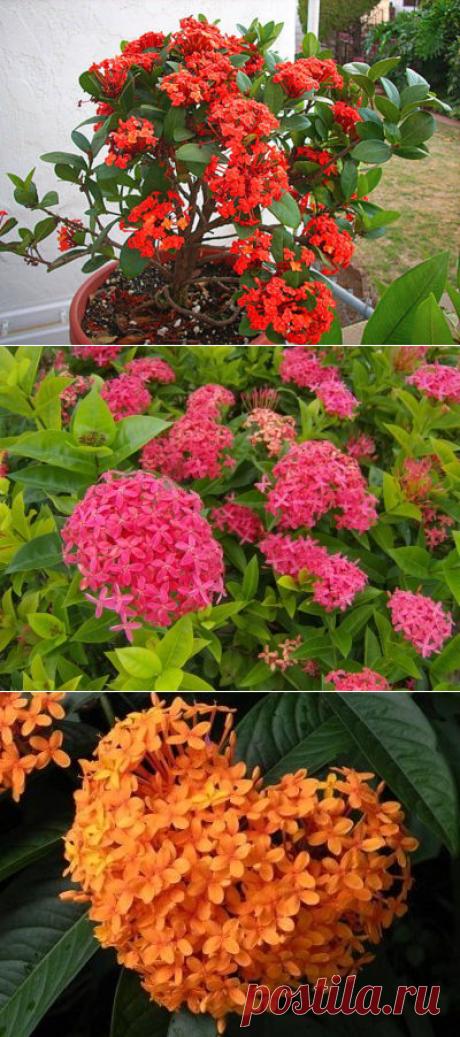 Иксора уход и выращивание из семян в домашних условиях