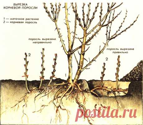 Причины образования корневой поросли и способы борьбы с нею  Если плодовые деревья начали образовывать поросль, значит, с деревьями что-то не так. Надо выявить причину, а заодно уничтожить всю поросль.  Если поросли образуется немного, это нормальное явление, …