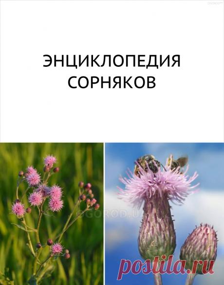 Список сорных растений с фотографиями