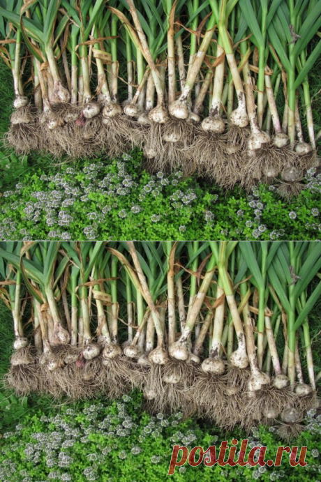Как вырастить хороший урожай чеснока? Всё о выращивании и уходе за чесноком. Фото - Ботаничка.ru