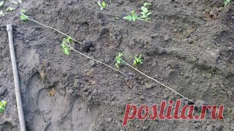 Надежная посадка томатов по методу огородника из Татарстана — отрезаем все листья до макушки | Маленький сад на краю Вселенной | Яндекс Дзен