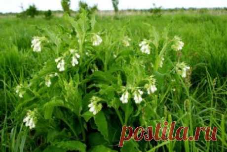 Окопник лекарственный-- ценное целебное растение | Полезные лесные растения