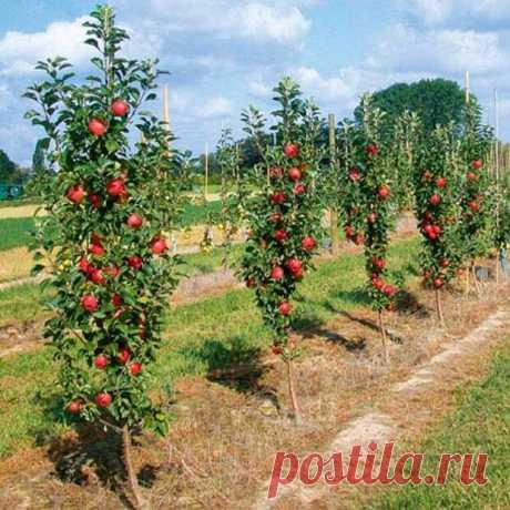 Уход за колонновидными яблонями и грушами | НА ЗАВАЛИНКЕ