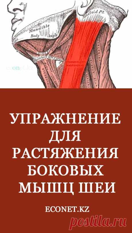 Упражнение для растяжения боковых мышц шеи Важно разрабатывать боковые шейные мышцы. Их гибкость дает ощущение правильного положения головы относительно позвоночника и более легкой подвижности рук. Эти мышцы называют грудино-ключично-сосцевидными и их просто найти, поскольку по длине они больше других мышц.