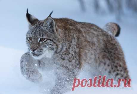 Рысь в морозный зимний день. Автор фото — Владислав Костылев: