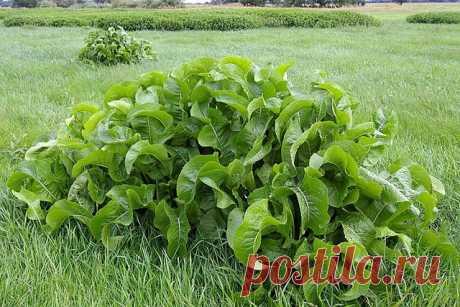 Листья хрена – единственные из растений, способные вытягивать соль через поры кожи! - Домашние Беседы - медиаплатформа МирТесен