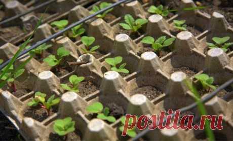 Правильная посадка редиса в ячейки из-под яиц: агротехника выращивания и ухода Традиционно редис выращивают на грядках в проделанных в почве бороздках, но есть еще и своеобразный способ, которым можно воспользоваться в домашнем хозяйстве. Это выращивание в лотках, оставшихся из-...