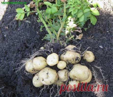 Опыт выращивания картофеля делится Мария Ковальчук — 6 соток