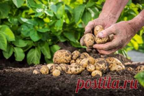 Как правильно убирать и хранить на семена ранний картофель? Письмо читателя: В этом году купила для посадки клубни раннего сорта картошки. Понравился. Хочу теперь сохранить его и посадить на следующий год. Есть ли особые правила уборки и хранения для раннего картофеля?