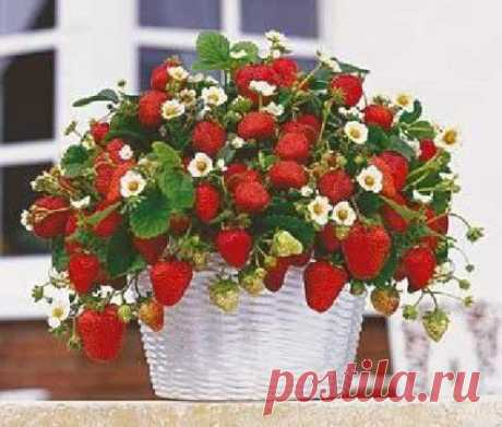 Cultivation of strawberry on a balcony: the step-by-step instruction for beginners....