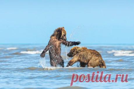 Мама-медведица привела медвежат на пляж
