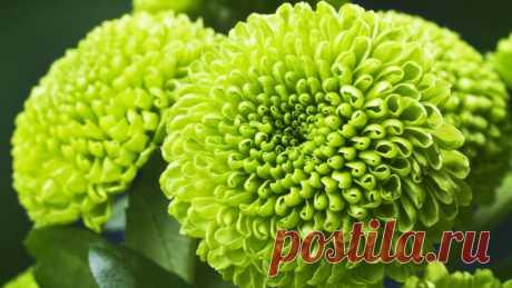 Непревзойдённая королева осени - хризантема. За что мы её любим? | Растения
